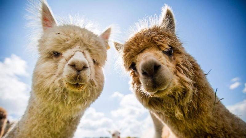 Home Exchange with four Alpacas!